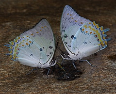 IMG_6151 jeweled nawab (Polyura delphis) (Troup1) Tags: macro nature butterfly insect flyinginsect