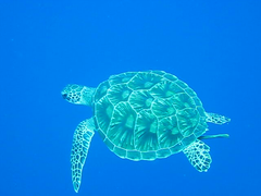 Diving with the Sea Turtle Video (julesnene) Tags: blue water island video marine julia turtle awesome philippines scuba diving bohol scubadiving seaturtle incredible sanctuary balicasag remora ramora balicasagisland hawksbillseaturtle sumangil julesnene balicasagsanctuary juliasumangil