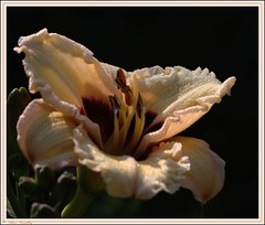 Dew Point #2 (beluga 7) Tags: daylily lifeasiseeit dewpoint pointderose hmerocalle