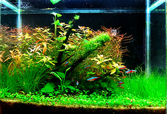 13_julho_2008 (Aquatic Stuff) Tags: fish water aquarium ada aqua neon tank natural fresh aquario freshwater amano aquascape minima planted coridora plantedaquarium repens ludwigia arcuata anubia eleocharis ninphaea higrofilas glossotigma
