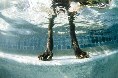 Patas de perro en la piscina