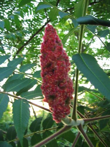 Fuzzy purple Staghorn Sumac plant
