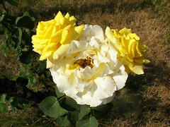 White and yellow rose bush