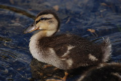 Dark eyes chick! (ineedathis) Tags: newyork duck pond longisland chick 460 babyduck