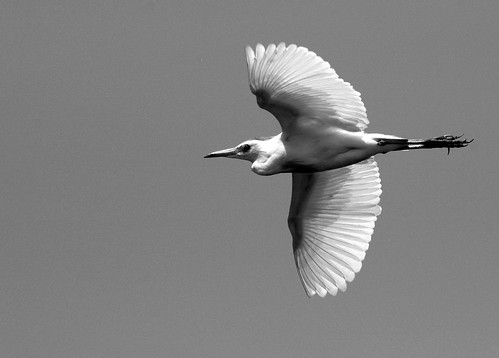 Egret in Flight 2 (B&W)