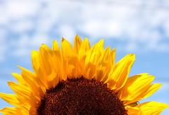 sunflower08