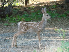 having fawns around is like having pets