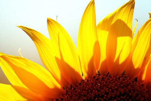 Sun...flower