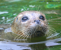 Gone fishing.... (law_keven) Tags: england water animals zoo eyes seal pinnipeds essex colchester zoology explore500 phocids