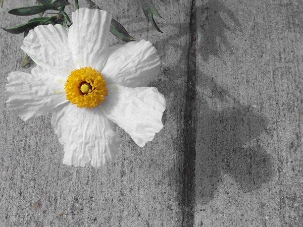 Sidewalkfleur