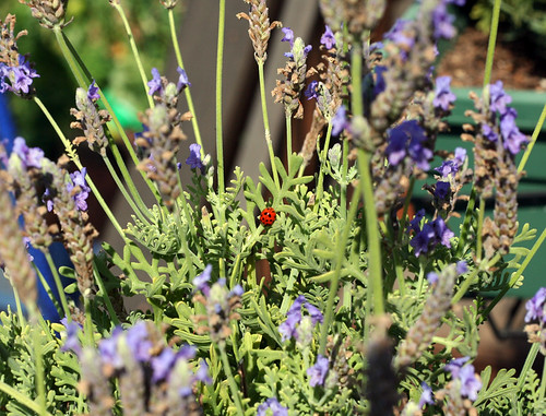 Ladybug in the lavender