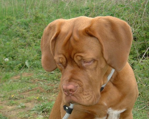 dogue de bordeaux cross pitbull. dogue de bordeaux by xenne
