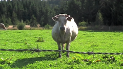 Countryside (Hkan Dahlstrm) Tags: tractor grass cow skne video cattle sweden harvest explore sverige farmer scania sdra billinge rrum explored