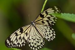 Butterfly (ikmattie) Tags: butterfly rotterdam blijdorp vlinder vlindertuin