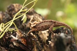 Antsingy Leaf Chameleon - Exotic Reserve Peyrieras, Madagascar