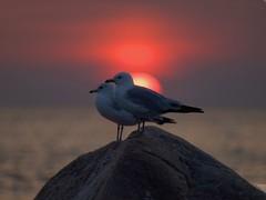 Sunset couple8256416 (alwasaga) Tags: sici abigfave 20080705 life~asiseeit dragondaggerphoto