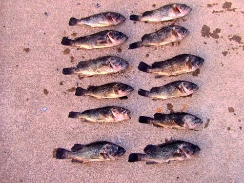 釣果-古平漁港ソイ釣り2008.9.11