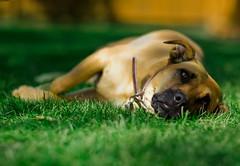 Sara (MyklR) Tags: summer dog cute furry sara lazy lrapptv