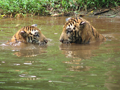 (Aithal's) Tags: playing water tiger tigers mangalore murali pilikula canons3 aithal playingtiger aithals