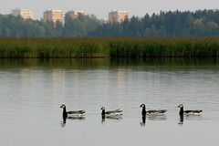 4 Geese (Riku N) Tags: houses sea reflection birds four geese helsinki vanhankaupunginlahti arabianranta barnaclegeese