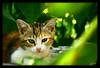 Sweet Baby (Kuzeytac) Tags: color colour green cat geotagged leaf eyes explore geotag kedi leyla yeşil lsi renk yaprak gözler canoneos400d canoneosdigitalrebelxti kuzeytac comeonmike copyrightedallrightsreserved aqualityonlyclub