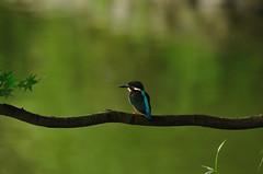 Common Kingfisher (Takechan-400) Tags: blue green bird japan tokyo nikon sigma kingfisher machida d300  commonkingfisher wildbird yakushiikepark apodgos150500mm