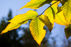 Autumn Birch Leaves (Vermont Lenses) Tags: autumn trees light shadow mountains tree green fall leaves yellow gold vermont foliage birch backlit montpelier feaf