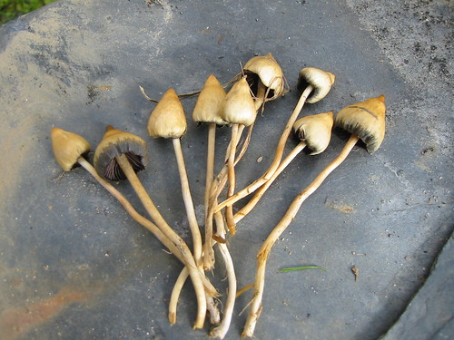 essays shrooms On the surface, the poem is about a bunch of mushrooms quietly growing in a nighttime forest they poke their heads from the leafy, pine-needled forest floor and eventually sprout from the cracks in a city sidewalk.
