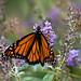 Monarch in NJ