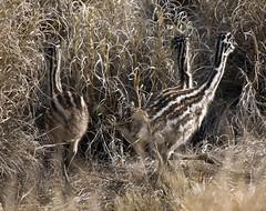 Richmond Emu