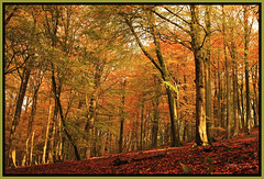 Beech Woods. (Picture post.) Tags: red sunlight green nature landscape gold golden autumnleaves paysage arbre autumntrees autumncolor beechtrees blueribbonwinner mywinners abigfave platinumphoto diamondclassphotographer theunforgettablepictures goldstaraward damniwishidtakenthat