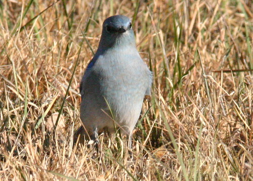 Mountain Bluebird Close 20081112