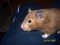 100_0726 (lfcgirl) Tags: hamsters