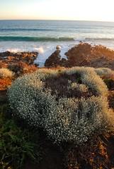 NRM f2c - newland head cp - parsons ar (liam.jon_d) Tags: leucophyta brownii leucophytabrownii cushionbush localnative localindigenous locallyindigenous native plant species heysen trail heysentrail longdistance walking billdoyle adelaide mountloftyranges naturalresource managementboard amlr nrm cmb coastal managementbranch naturalresourcemanagement fleurieu fleurieupeninsula australia southaustralia australian southaustralian coastline shore seashore parsons newland newlandhead conservationpark rocky adelaideandmountloftyranges board coast photographs photography sa mtloftyranges lofties loftys adelaidehills loftyrangesimset popularimset pickmeset