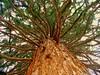 Redwood (Stella VM) Tags: autumn mountain color colour tree nature beautiful beauty sofia bulgaria redwood sequoia есен bough bulgarian boyana българия софия anawesomeshot боянскацърква бояна