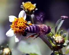 honey trail (xeno(x)) Tags: colour macro art nature yellow canon garden insect asia bee 2008 xeno 40d abigfave