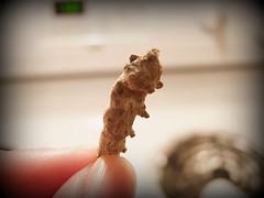 dry silkworm