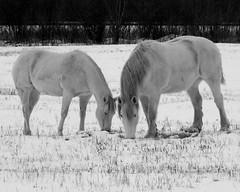 Snow White Beauties   :) (**Ms Judi**) Tags: trees winter friends horses horse white snow tree love beautiful grass animals wisconsin wonderful eyes midwest soft snowy farm awesome ground lovely elegant magical grazing peshtigo terrific enchanting whitehorses supershot msjudi anawesomeshot whitebeauties judistevenson snowwhitebeauties