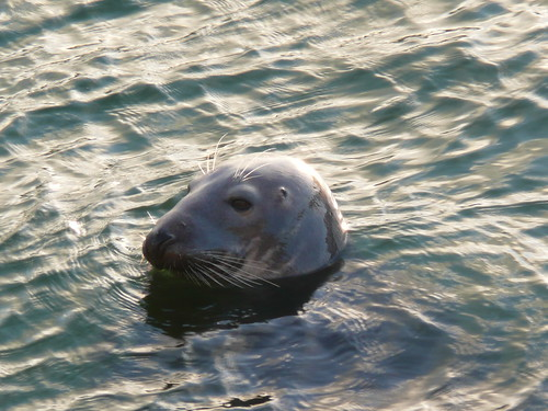 Seals in The Harbour at St.Ives,Cornwall (12)