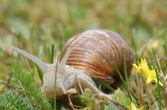 Weinbergschnecke (5) (Ellenore56) Tags: natur snail haus garten schnecke regen weinberg weinbergschnecke schneckenhaus schleim fhler weichtier zwitter dslra350 sonyalpha350 stielaugen lungenschnecke gastropoden spiralschale kriechsohle