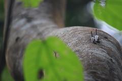 Sepasang Lantern Bug (zulbaning) Tags: belum lanternbug temenggor mygearandme