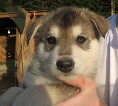Wolfdog pup (backyard breeder)