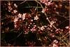 71/365 (Spotty Dog Gallery- in France at last) Tags: floweringplum joytotheworld theworldthroughmyeyes 365daysproject vivalavida shuttersisters365 secrmk