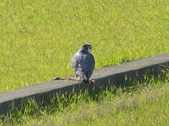 Peale's Peregrine Falcon - Oh-Hayabusa (David in Miyazaki) Tags: birds japan falcon 100 february 2008 peregrine dld  falcoperegrinuspealei izumishi kagoshimaken dmcfz8 ohhayabusa pealesperegrinefalcon slbfeeding