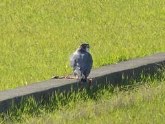 Peale's Peregrine Falcon - Oh-Hayabusa (David in Chippenham) Tags: birds japan falcon 100 february 2008 peregrine dld ハヤブサ falcoperegrinuspealei izumishi kagoshimaken dmcfz8 ohhayabusa pealesperegrinefalcon slbfeeding オオハヤブサ