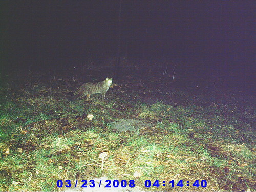 Chat forestier (photo prise le 23/02/08)...