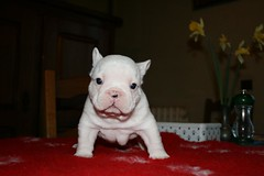 (dzikusiak) Tags: dog white puppy french bulldog francais bouledogue