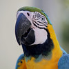 Blue & Gold (Greg Miles) Tags: blueandgoldmacaw araararauna featheryfriday specanimal abigfave impressedbeauty avianexcellence abcopen:project=upclose gregmiles