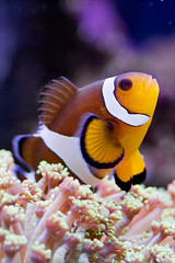 "Pesce Pagliaccio (laterale) ""Amphiprion ocellaris"" [Clown Fish - (side)] (ecatoncheires) Tags: fish aquarium tank nemo clown clownfish acquario pesce pagliaccio ocellaris amphiprion"