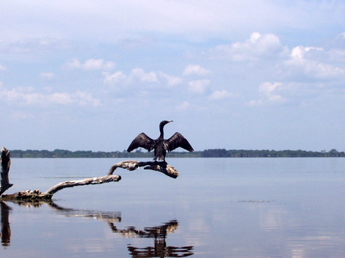 Cormorant drying its wings